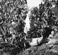 Grozdje trgajo, Glavičevi iz Hrastovega Dola 1950 (3).jpg