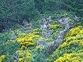 Grupomachos Capra pyrenaica.JPG