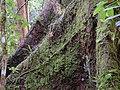 Guatemala Moss Vines Rainforest Tree.jpg