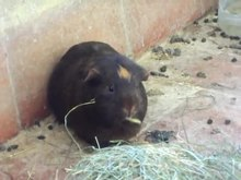 Fitxer:Guinea pig (Bara) eating hay.ogv