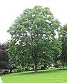 Gymnocladus dioicus Berlin Weinbergspark TP03.jpg