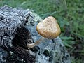 Gymnopilus igniculus Deneyer, P.-A. Moreau & Wuilb 490724.jpg