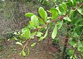 Gymnosporia senegalensis - leaves.JPG