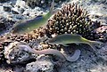 Gymnothorax pictus.Мурена белая (перечная) и барабульки.DSCF6027BE.jpg