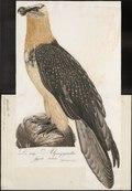 Gypaëtus barbatus - 1800-1812 - Print - Iconographia Zoologica - Special Collections University of Amsterdam - UBA01 IZ18100027.tif