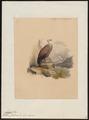 Gyps fulvus - 1842-1849 - Print - Iconographia Zoologica - Special Collections University of Amsterdam - UBA01 IZ18100069.tif