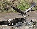 Gyps rueppellii -Mara river crossing -Africa.jpg