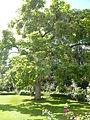 Hôtel de Charost JP2010, arbre du parc.jpg