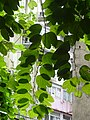 HK 上環 Sheung Wan Sunday Morning 華里 Wa Lane 艷紫荊 Bauhinia 香港蘭 Orchid green trees leaves Aug 2016 DSC.jpg