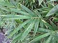 HK 灣仔 Wan Chai 修頓球場 Southorn Playground plant October 2017 IX1 green palm compound leaves 竹子 Bambusa 04.jpg