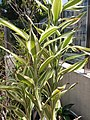 HK Mid-levels High Street clubhouse green leaves plant February 2019 SSG 66.jpg