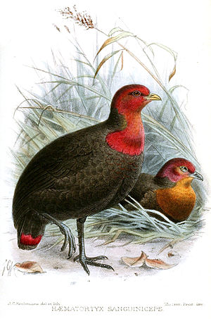 Crimson-headed partridge - Image: Haematortyx Sanguiniceps Keulemans