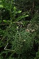 Halocarpus kirkii kz4.jpg