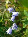 Harebell Gillies Hill.jpg