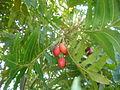 Harpephyllum caffrum 1c.JPG