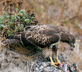 Hawk eating prey-postproc.png