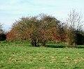 Hawthorn Tree in marshy field - geograph.org.uk - 326087.jpg