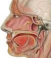 Head lateral gr petrosal nerve.jpg