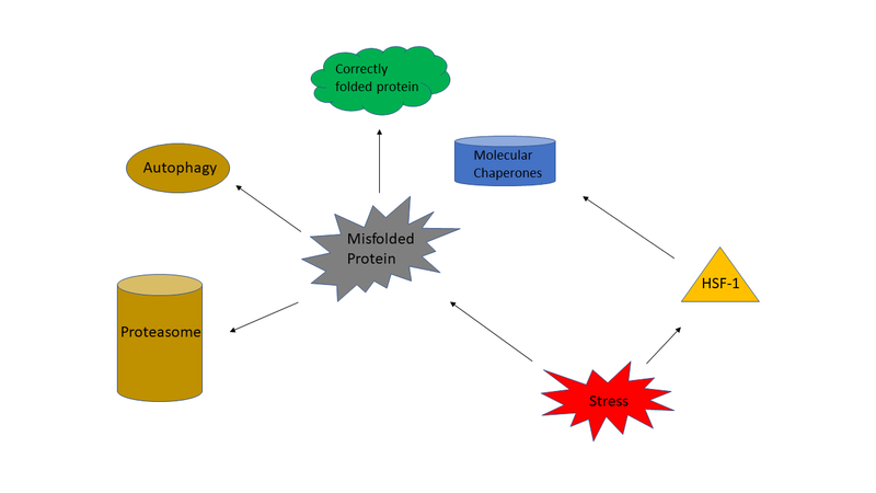 File:Heat Shock Response Diagram.png
