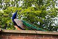 Heaton Park 2016 048 - Peacock.jpg