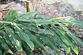 Hedychium villosum 3zz.jpg