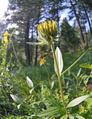 Helianthella uniflora var. douglasii at Squilchuck State Park Chelan County Washington 3.png