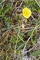 Helianthemum nummularium pelouse-chezy-sur-marne 02 12052007 1.jpg