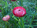 Helichrysum bracteatum (Garten-Strohblume)-2.JPG