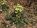 Helleborus foetidus 070406.jpg