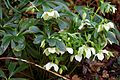 Helleborus white Lenten rose at Nuthurst, West Sussex, England.jpg