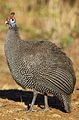 Helmeted Guineafowl, Numida meleagris at Pilanesberg National Park (11154981524).jpg