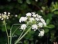 Heracleum sphondylium flower.jpg