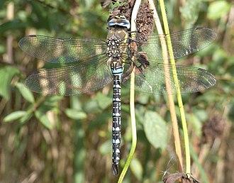 Sound Heath - Migrant hawker dragonfly