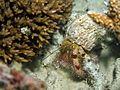 Hermit crab maldives.JPG