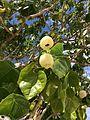 Hernandia nymphaeifolia fruits Beqa Fiji 2.jpg