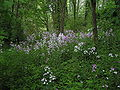 Hesperis matronalis invasion woodland 001.JPG