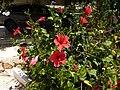 Hibiscus de calpe - panoramio.jpg