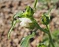 Hibiscus meraukensis flower.jpg