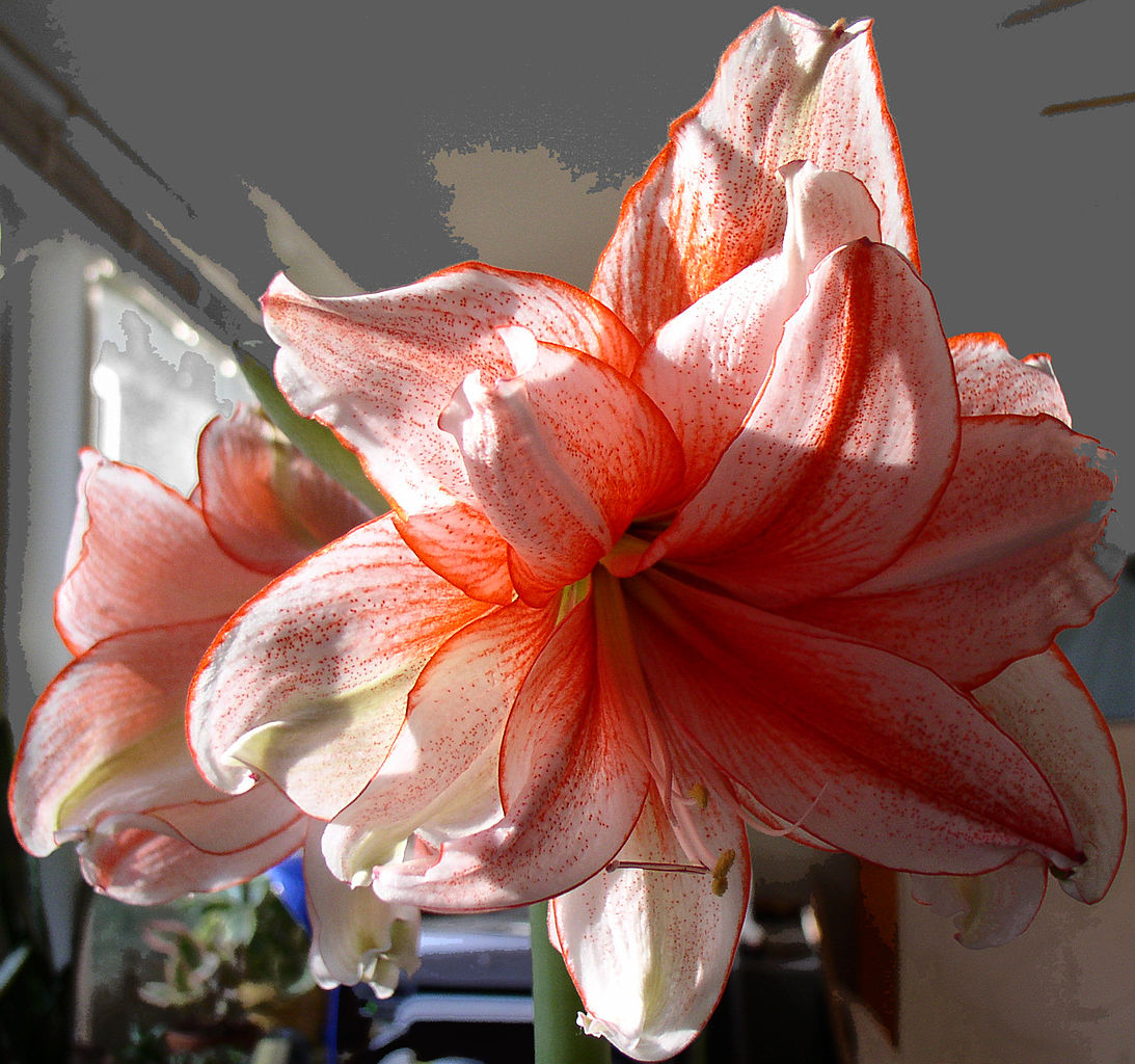 File hippeastrum wikimedia commons for Amaryllis hippeastrum