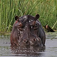 Hippo (Hippopotamus amphibius) head in water
