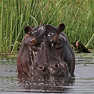 Hippo (Hippopotamus amphibius) head in water.jpg