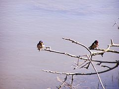 Hirundo rustica perched lake.jpg