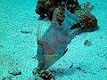 Hogfish Lachnolaimus maximus.JPG