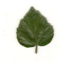Hibiscus rosasinensis  Wikipedia la enciclopedia libre