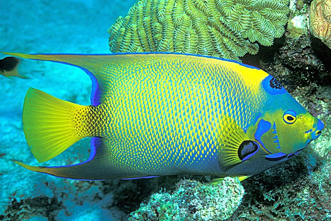 The queen angelfish rules... (Holacanthus cili...