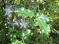 Holly Leaves.JPG