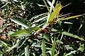 Homonoia riparia 3.jpg