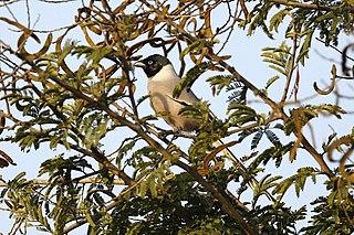 Hooded treepie species of bird