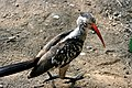 Hornbill,Kruger Park, South Africa (8342042104).jpg