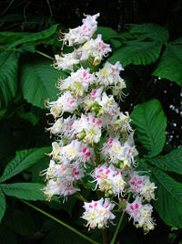 Horse chestnut flowers.JPG